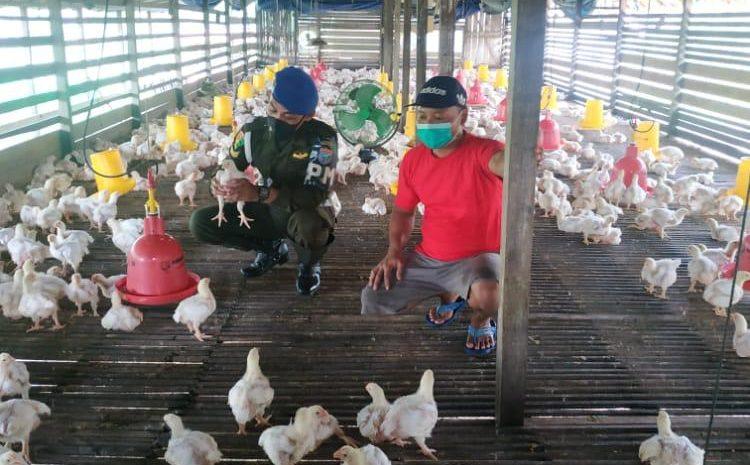 Personel Subdenpom XII/1-3 Melawi edukasi peternak Ayam Perhatikan kebersihan lingkungan kandang